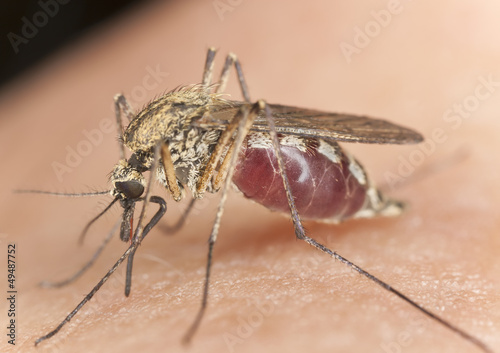 Mosquito sucking blood, macro with high magnification