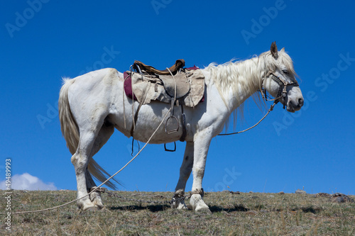 Stallion under saddle