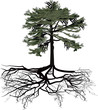 green pine with black root on white