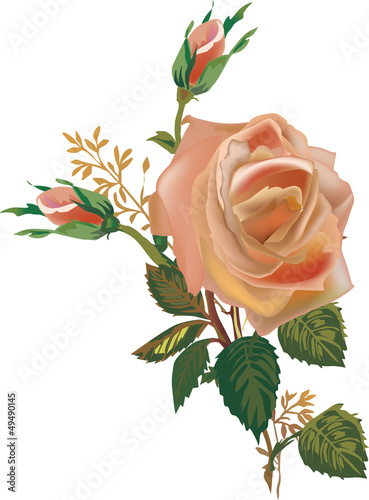tea rose flower isolated on white