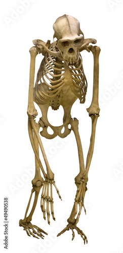 chimpanzee skeleton isolated on white