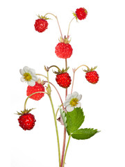 wild strawberry with berries and flowers isolated on white