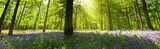 Panoramic Bluebell Wood