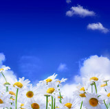 Fototapety spring Field of daisies and blue sky background