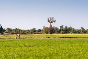 Baobab and rice field