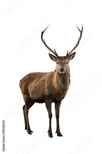 Deer portrait - 49506303