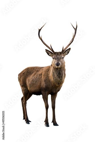 Poster Deer portrait