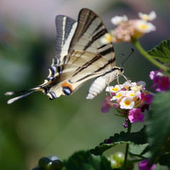Butterfly Southern Swallowtail (Papilio alexanor)
