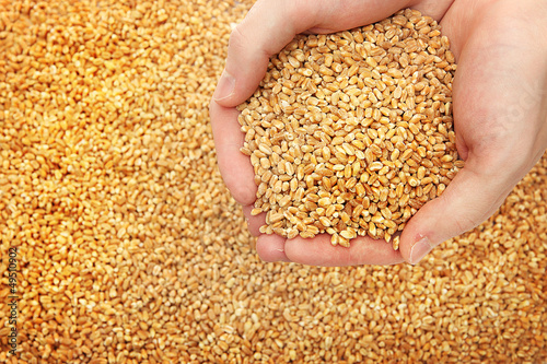 man hands with grain, on wheat background