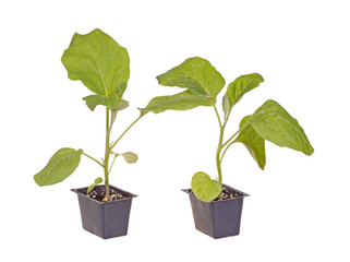 Two eggplant seedlings ready for transplanting
