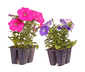 Two packs of pink- and blue-flowered petunia seedlings ready for
