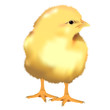 realistic Yellow Chick, vector