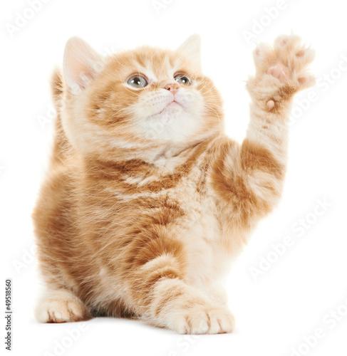 British playing kitten cat isolated