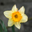 Yellow daffodil close