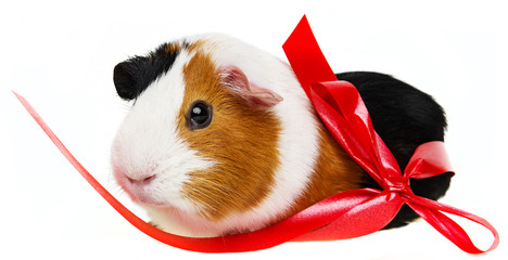 cute guinea pig in a little basket with a red ribbon
