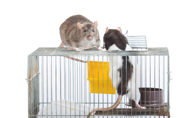 Two rats on a coop