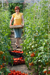 Woman picking  tomatoes in greenhouse