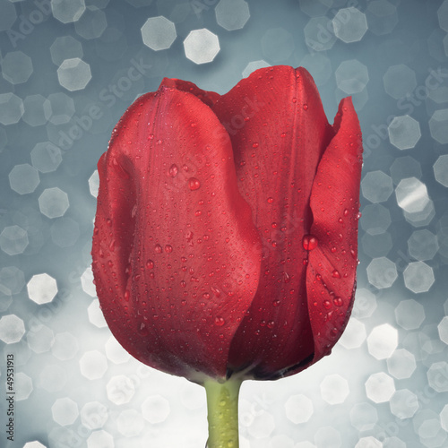 Close up of red tulip
