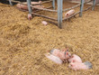 Newborn pigs in an outside stable
