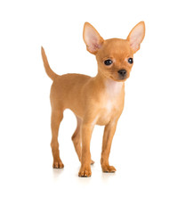 smiling dog Russian toy terrier