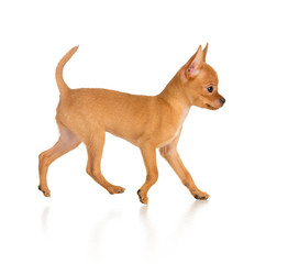 running toy terrier dog side view