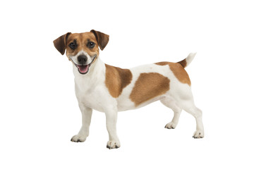 Dog Jack Russel terrier is looking to the camera and smiling