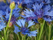 canvas print picture - blue cornflowers on  green meadow