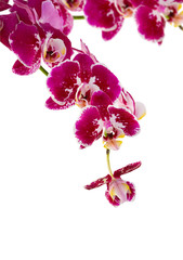 violet orchid branch on white background