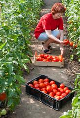 Woman picking  tomatoes