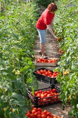 Woman picking fresh tomatoes