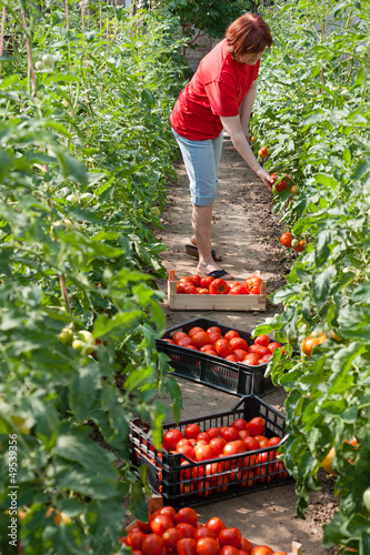 Woman picking fresh tomatoes