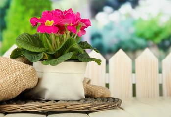 Beautiful pink primula in flowerpot,