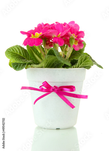 Beautiful pink primula in flowerpot, isolated on white