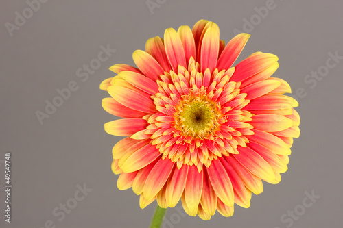 Beautiful Gerber flower on grey background