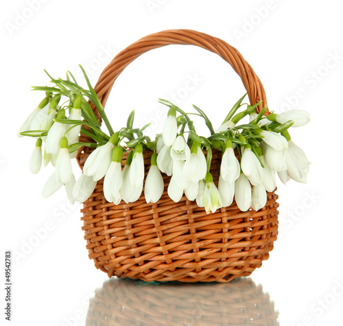 Spring snowdrop flowers in wicker basket, isolated on white