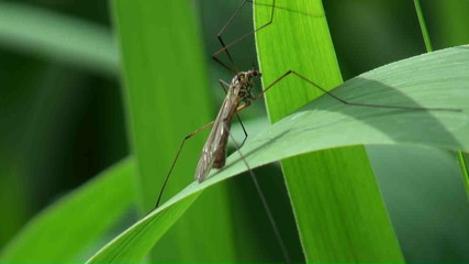The marsh mosquito on a reed