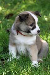 1302011 - Islandhund