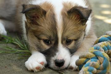 1302018 - Islandhund