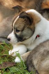 1302019 - Islandhund