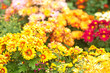 multicolored chrysanthemums
