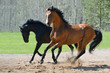 Two stallions gallop on manege