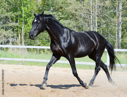 Black stallion in motion