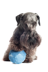 cute bearded dog with a toy ball