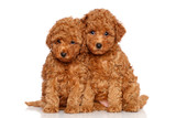 Poodle puppies - 49549354