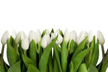 line of white tulips