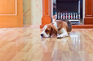 The dog has a rest on wooden to a floor near to a fireplace