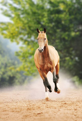 horse galloping in the dust
