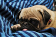 Young Pug Laying on a Blue Blanket