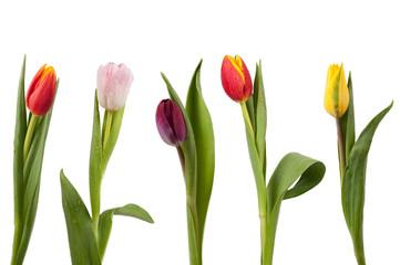 Tulpenreihe