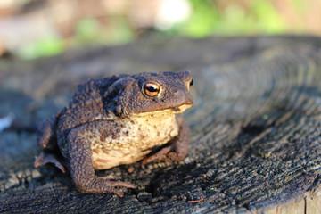 European ground toad